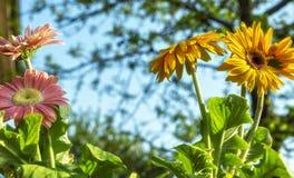 Barwioni gerbera stokrotek kwiatów zbliżenia obrazy royalty free