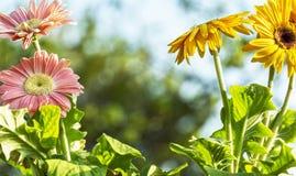 Barwioni gerbera stokrotek kwiatów zbliżenia obraz stock