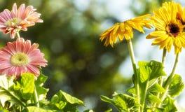 Barwioni gerbera stokrotek kwiatów zbliżenia obrazy stock