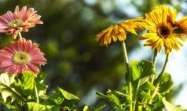 Barwioni gerbera stokrotek kwiatów zbliżenia zdjęcia royalty free