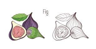 Barwioni i monochromatyczni konturów rysunki figa odizolowywająca na białym tle Plik wyśmienicie dojrzały royalty ilustracja