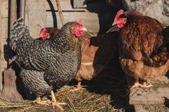 Barwioni kurczaki na wiosny podwórzu zdjęcie royalty free