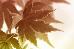 Barwioni liście klonowi Fotografia Stock