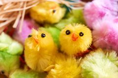 Barwioni sfałszowani Easter kurczątka i rafiowy gniazdowy materia zdjęcia royalty free