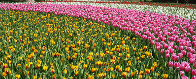 Barwioni tulipany Zdjęcia Stock