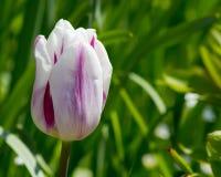 Barwioni tulipany na pięknej wiośnie w kwiatu łóżku Obraz Stock
