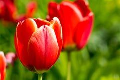 Barwioni tulipany na pięknej wiośnie w kwiatu łóżku Obrazy Royalty Free