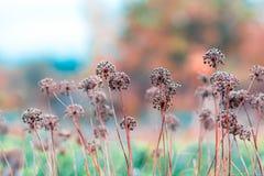 Barwioni wysuszeni kwiaty na zamazanym tle w łące Fotografia Royalty Free
