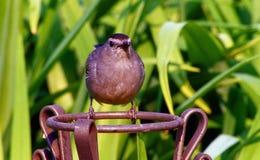 Barwiony łupku Mockingbird Zdjęcia Stock