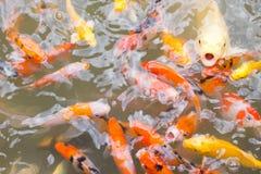 Barwiony bzdury ryba odgórnego widoku staw w parku Zdjęcia Stock