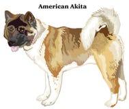 Barwiony dekoracyjny trwanie portret amerykanina Akita wektor il Obrazy Stock