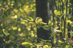 barwiony drzewo opuszcza bujny wzór i światło słoneczne w lesie z gałąź w wczesnej jesieni naturze przy wsią - rocznika stary fil obrazy royalty free
