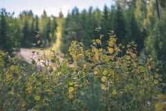 barwiony drzewo opuszcza bujny wzór i światło słoneczne w lesie z gałąź w wczesnej jesieni naturze przy wsią - rocznika stary fil fotografia royalty free