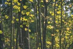 barwiony drzewo opuszcza bujny wzór i światło słoneczne w lesie z gałąź w wczesnej jesieni naturze przy wsią - rocznika stary fil obraz stock
