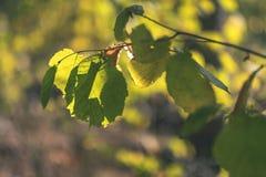 barwiony drzewo opuszcza bujny wzór i światło słoneczne w lesie z gałąź w wczesnej jesieni naturze przy wsią - rocznika stary fil fotografia stock