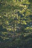 barwiony drzewo opuszcza bujny wzór i światło słoneczne w lesie z gałąź w wczesnej jesieni naturze przy wsią - rocznika stary fil zdjęcia stock