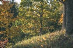 barwiony drzewo opuszcza bujny wzór i światło słoneczne w lesie z gałąź w wczesnej jesieni naturze przy wsią - rocznika stary fil obrazy stock
