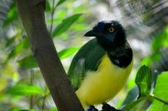 Barwiony Ecotic ptak w Zmartwionym spojrzeniu Fotografia Stock