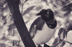 Barwiony Ecotic ptak w Zmartwionym spojrzeniu Zdjęcie Stock