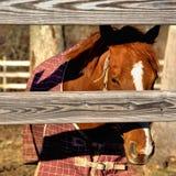 Barwiony kasztanu koń Zdjęcie Stock