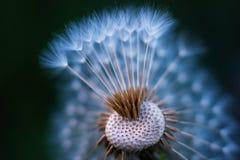 Barwiony makro- dandelion blowball który częsciowo gubił swój parasole zdjęcie stock