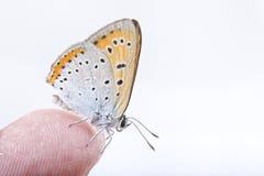 Barwiony motyli obsiadanie na palcu na białym tle Obraz Stock