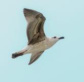 Barwiony Seagull ptak w niebieskim niebie Zdjęcie Stock