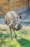 Barwiony struś, emu ptak, zakończenie w górę portreta Obrazy Stock