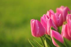 Barwiony tulipan II Zdjęcia Royalty Free