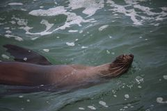 Seal resting in the ocean royalty free stock photography