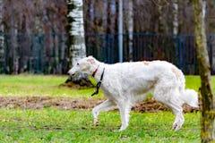 Barzoï russe Le jeune chien énergique marche dans le pré image stock