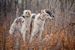 Barzoihunde auf der Jagd Lizenzfreie Stockfotos