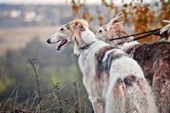 Barzoihunde auf der Jagd Stockfotos