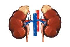 Bas poly reins humains avec la veine et l'aorte, adrénal surrénal Images libres de droits