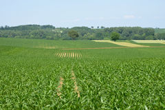Bas rhin, corn field in Hunspach in alsace Stock Images
