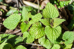Basal leaves in winter sun. Dead-nettle (Labiate) basal leaves in a hedge base, lit by late winter sun Stock Photos