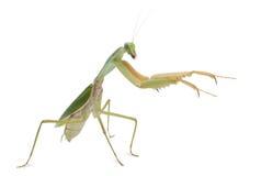 basalis母螳螂祈祷的rhombodera 库存照片