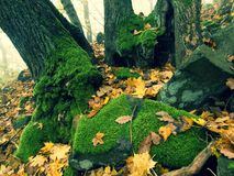 Basalt mossy boulder in leaves forest covered with first colorful leaves from maple tree, ash tree and aspen tree. Stock Photo