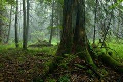 Basamento deciduo d'autunno della foresta di Bialowieza fotografia stock libera da diritti