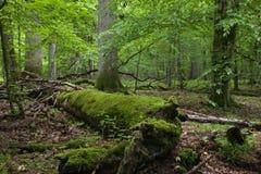 Basamento deciduo della foresta di Bialowieza nella primavera Fotografie Stock