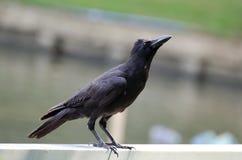 Basamento del corvo Immagini Stock