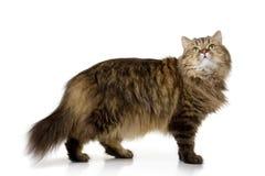 Basamento del gatto ed osservare in su fotografie stock