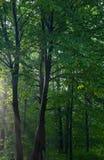 Basamento del Hornbeam all'indicatore luminoso di mattina Fotografia Stock Libera da Diritti