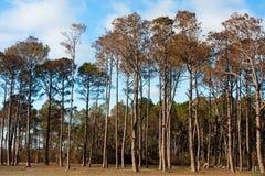 Basamento dell'albero di pino Fotografia Stock