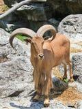 Basamento delle pecore di Barbary sulla scogliera Fotografie Stock Libere da Diritti