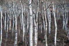 Basamento nudo e sfrondato dell'albero dell'Aspen Fotografia Stock Libera da Diritti