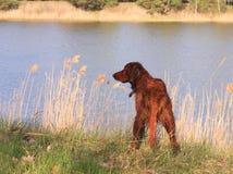 Basamento rosso del cane sulla banca di fiume fotografia stock libera da diritti