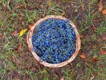 Bascet met druivenring Stock Foto's
