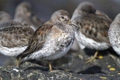 Basculez l'hiver de bécasseau qui se tient sur des roches dans a Photographie stock libre de droits
