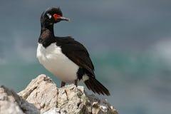 Basculez la tapis à longs poils, le magellanicus de Phalacrocorax, cormoran noir et blanc avec l'emplacement rouge de facture sur photos stock